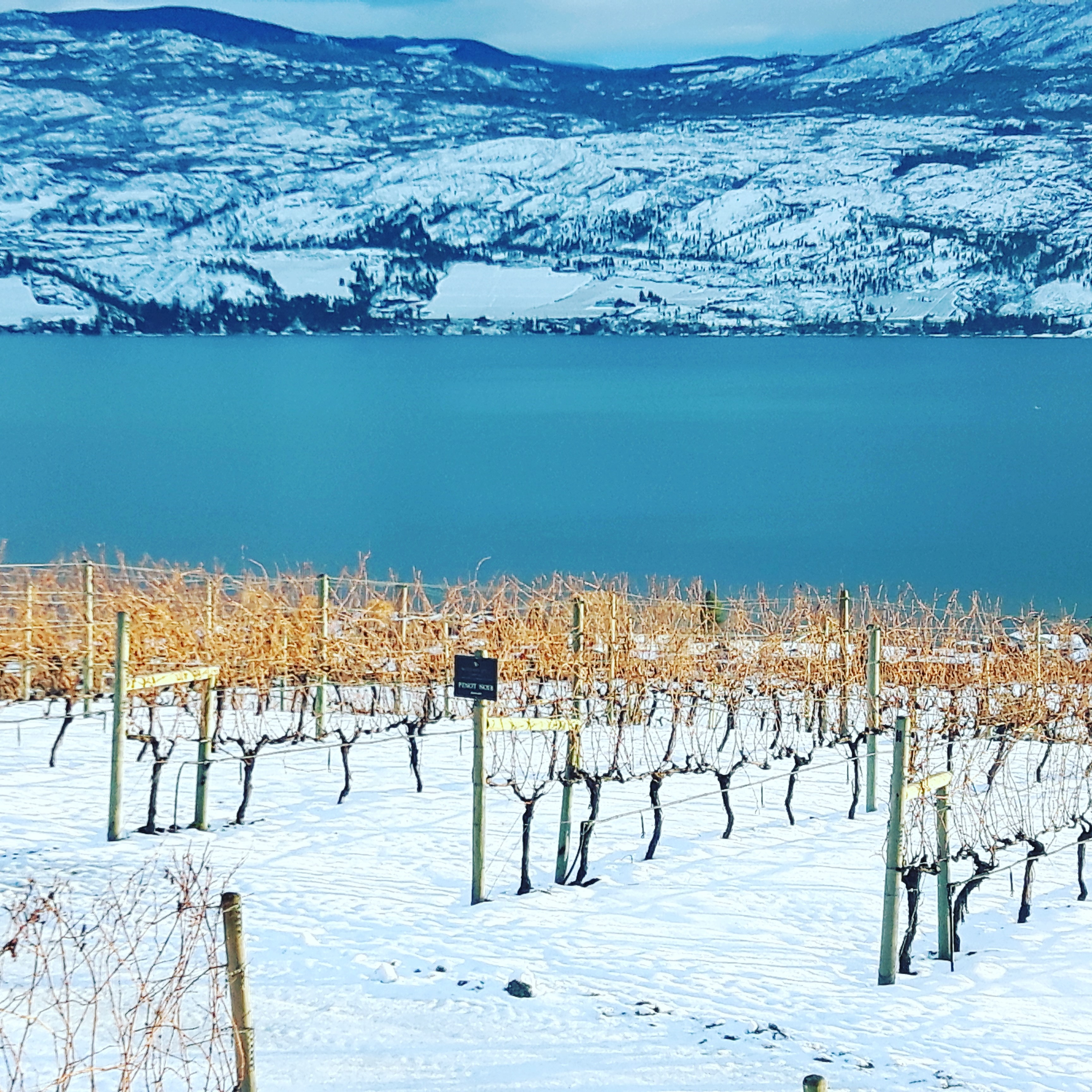 Vineyard in Okanagan Valley, Kelowna, British Columbia