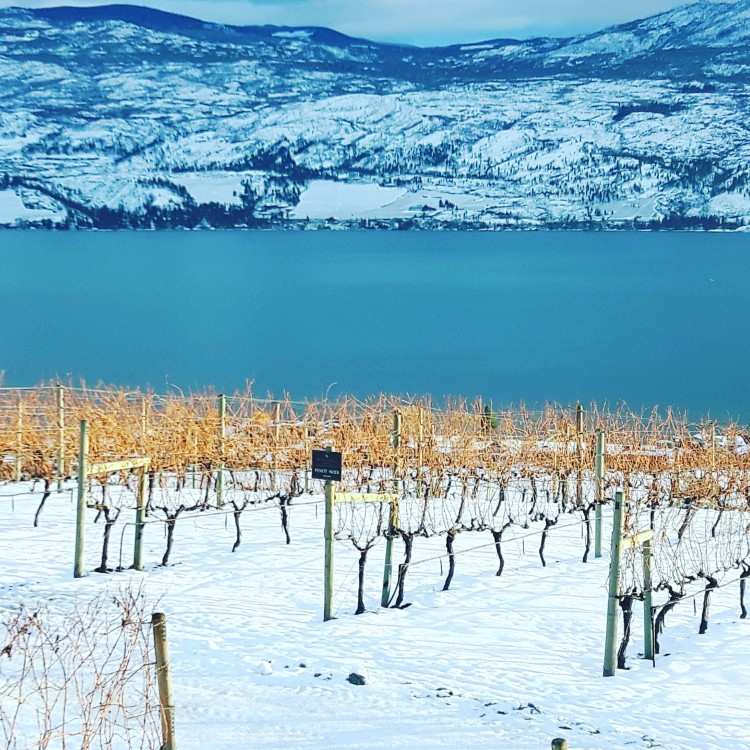 Vineyard in Okanagan Valley, Kelowna, British Columbia