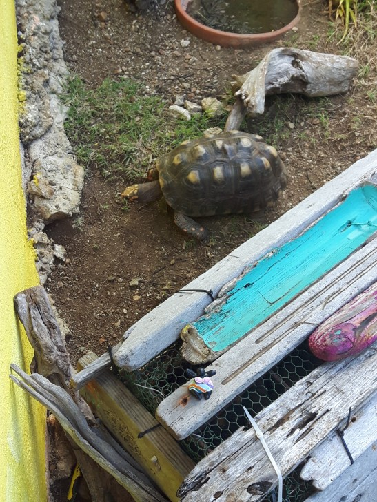 Resident turtle at Serena's Art Factory