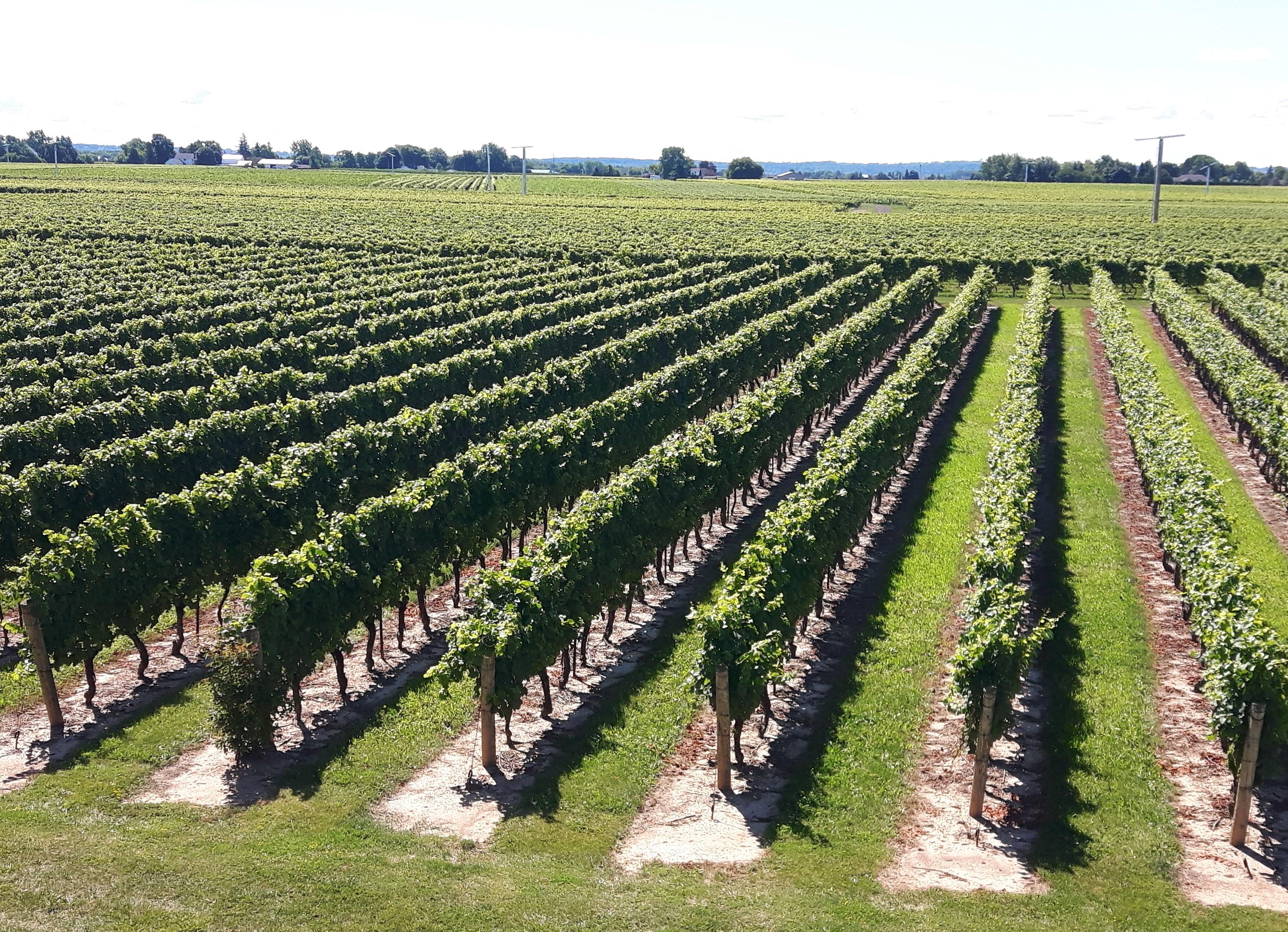 Niagara-Region-wineries-and-vineyards