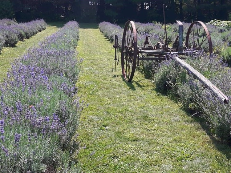 the-lavender-farm-ayr-ontario
